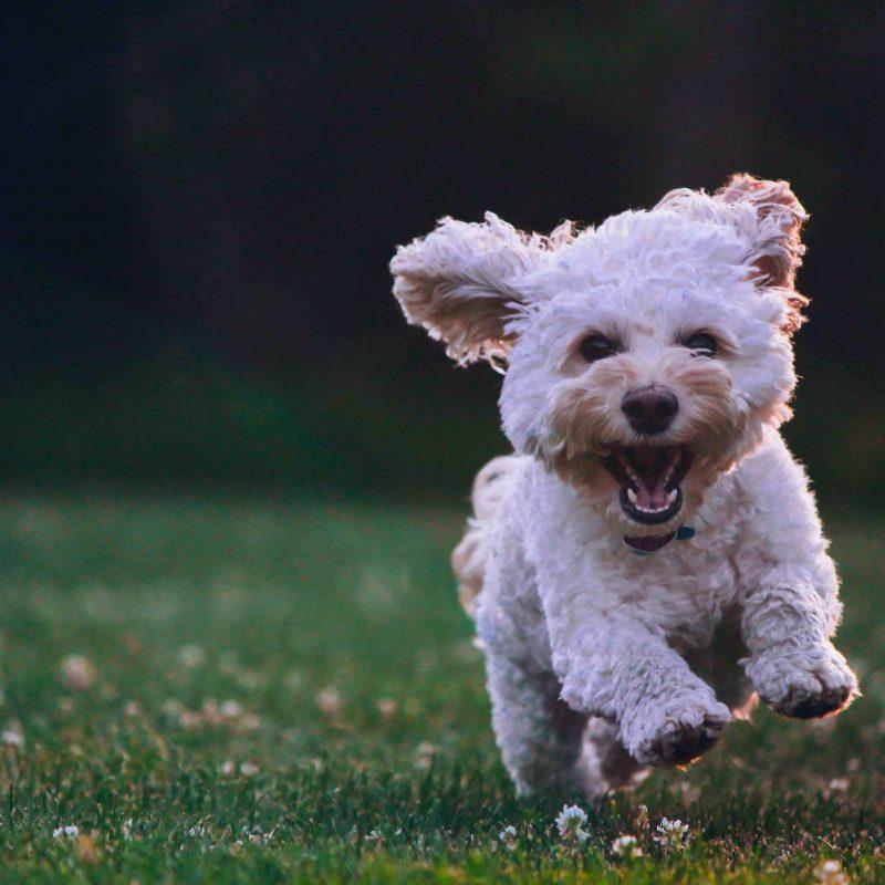 White dog enjoying spending time on his pet-friendly lawn.